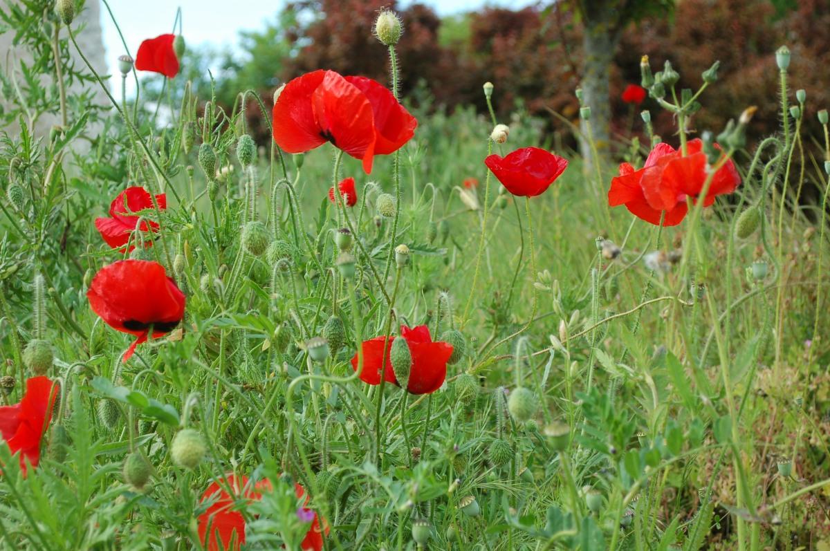 poppy fields in june